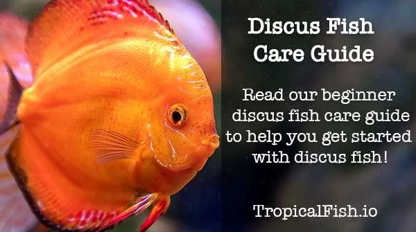 Discus Fish Care Beginners Guide