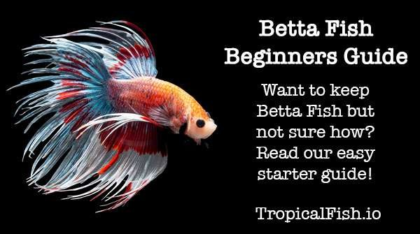 Betta Fish Keeping Beginners Guide