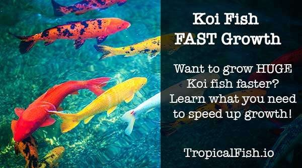 How to Make Your Koi Fish Grow Faster