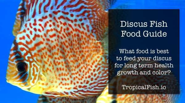 Best Discus Fish Food for Growth, Breeding and Health