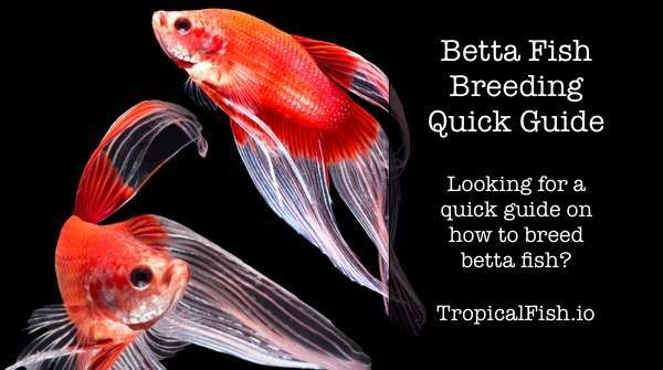 Betta Fish Breeding Quick Guide