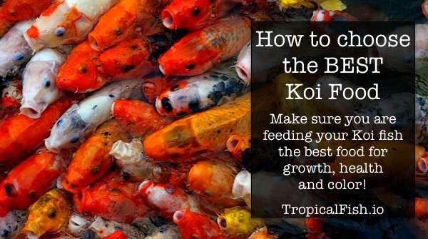 How to choose the best KOI food