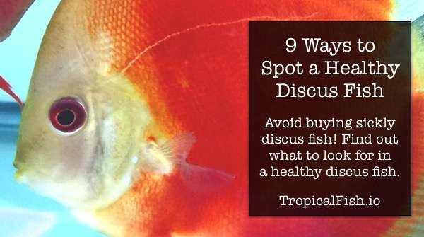 9 Ways to Spot Healthy Discus Fish