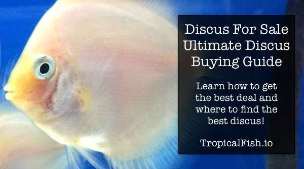 Discus Fish For Sale - Ultimate Discus Buying Guide