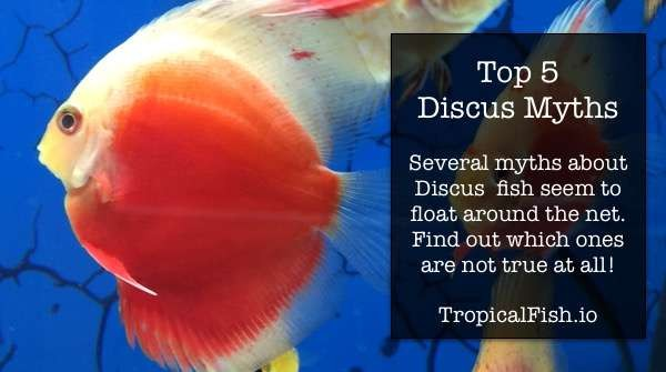 Top 5 Discus Fish Myths