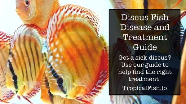 Discus Fish Disease, Symptoms and Treatment Guide