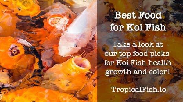 best koi fish food